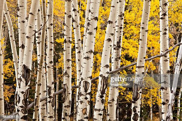 Mid trunk view of a group of poplar trees in the fall.