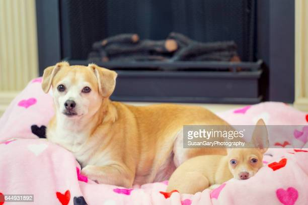 Middle-aged Terrier Dog with Chihuahua Puppy
