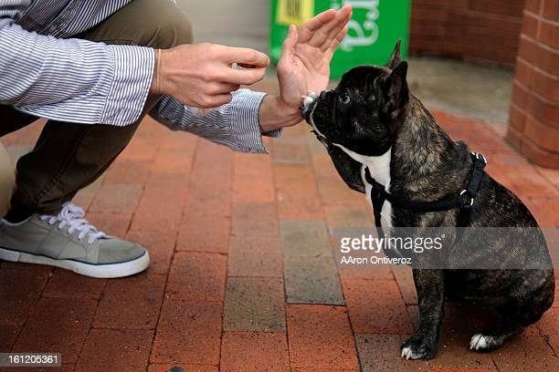 Midge a sixmonthold French bulldog high fives her owner Sam Bair's hand for a treat in Boulder on Thursday July 14 2011 AAron Ontiveroz The Denver...