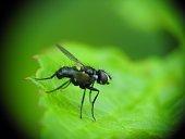 Little black fly