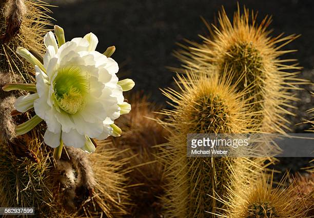 Midnight Lady cactus -Harrisia pomanensis-, flower in the morning sun, Paraguay