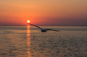 A seagull flying infront of the Midnight sun. Just as the sun sets in the horizon.