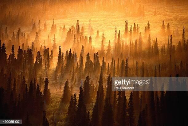 Midnight sun setting over misty spruce forest,Alaska,USA