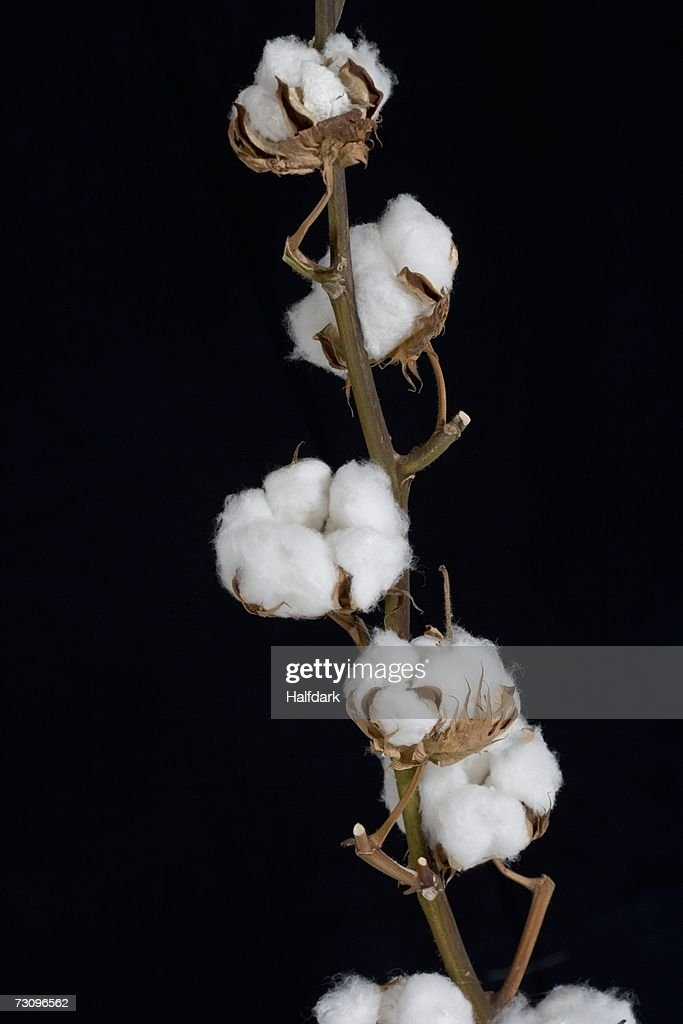 Midsection of a cotton boll stem