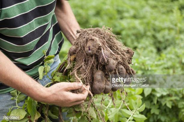 Midsection Of Farm Worker Holding Potatoes On Field