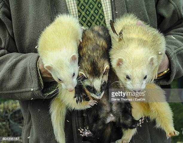 Midsection Of Man Holding Ferrets