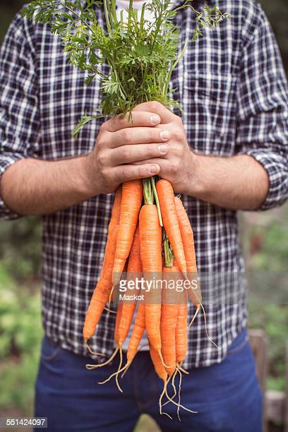 Midsection of man holding freshly harvested carrots at organic farm