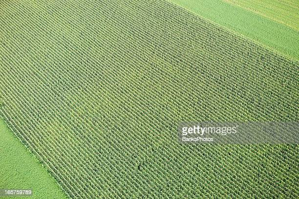 Midsummer Cornfield Aerial Background