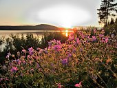 Midnight Sun image with midsummer flowers (Geranium sylvaticum) in the foreground (Arctic Circle, Sweden)