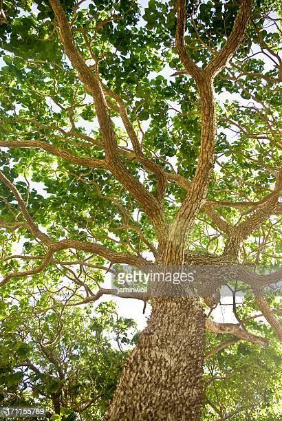 mighty ceiba-Baum mit wohltuender Filialen