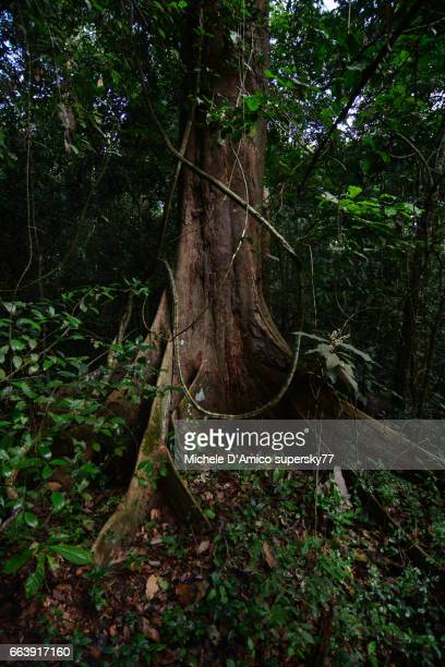 Mighty iron trees in the lush rainforest