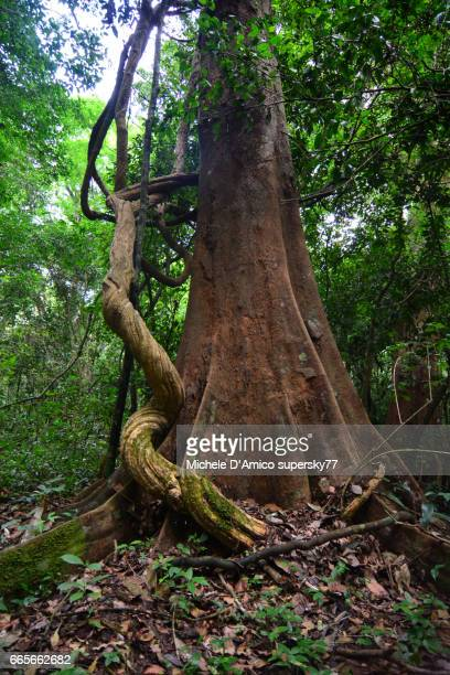 Mighty iron trees with contorted creepers in the lush rainforest