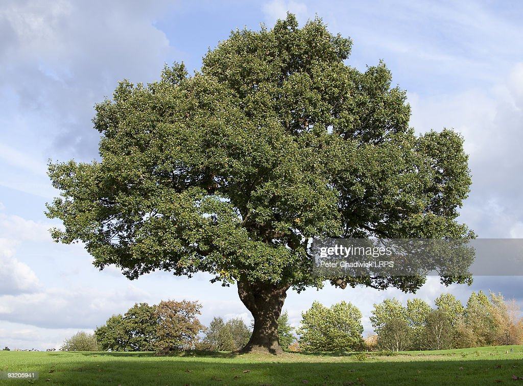 Mighty Oak : Stock Photo