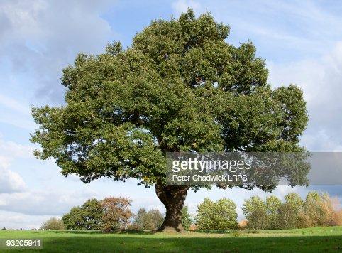 Mighty Oak : Stock Photo