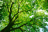 low angle shot into the canopy of an ancient oak tree on a sunny summer day