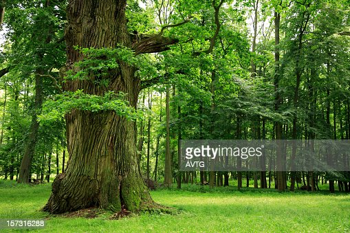 Mighty Oak Tree on Clearing in Deciduous Forest