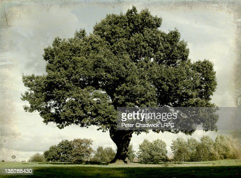 Mighty oak tree