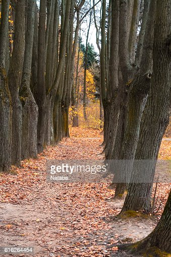 mighty oaks trees  along the alley in the autumn : Stock Photo