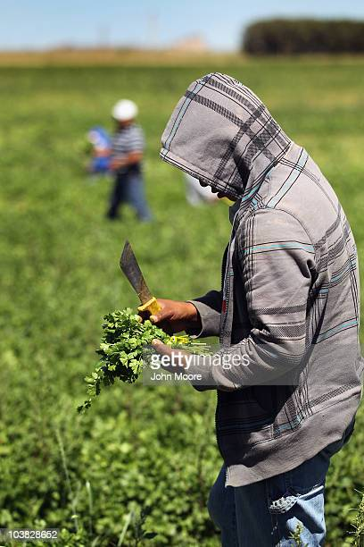 A migrant farm worker from Mexico harvests organic cilantro while working at the Grant Family Farms on September 3 2010 in Wellington Colorado The...