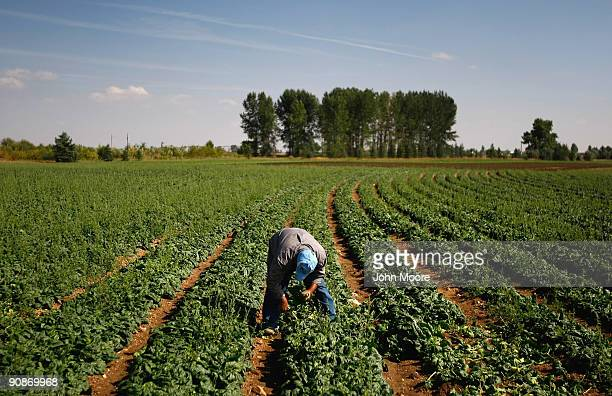 A migrant farm worker from Mexico picks spinach on September 16 2009 near Wellington Colorado Salud Family Health Centers sends a mobile clinic to...