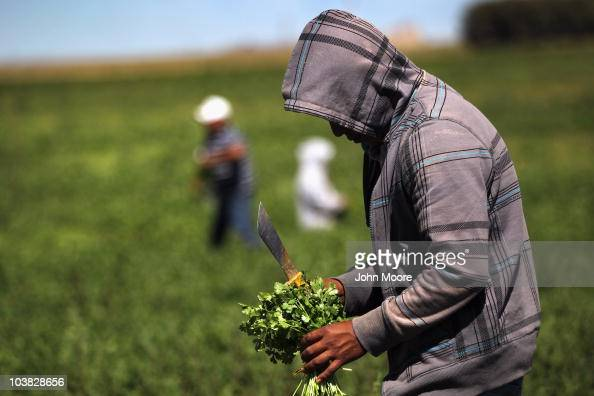 Migrant farm workers from Mexico harvest organic cilantro while working at the Grant Family Farms on September 3 2010 in Wellington Colorado The farm...