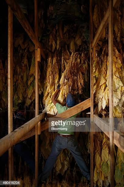 A migrant worker hangs Burley tobacco grown by Langley Farms in a tobacco barn in Finchville Kentucky US on Thursday Sept 17 2015 More than twothirds...