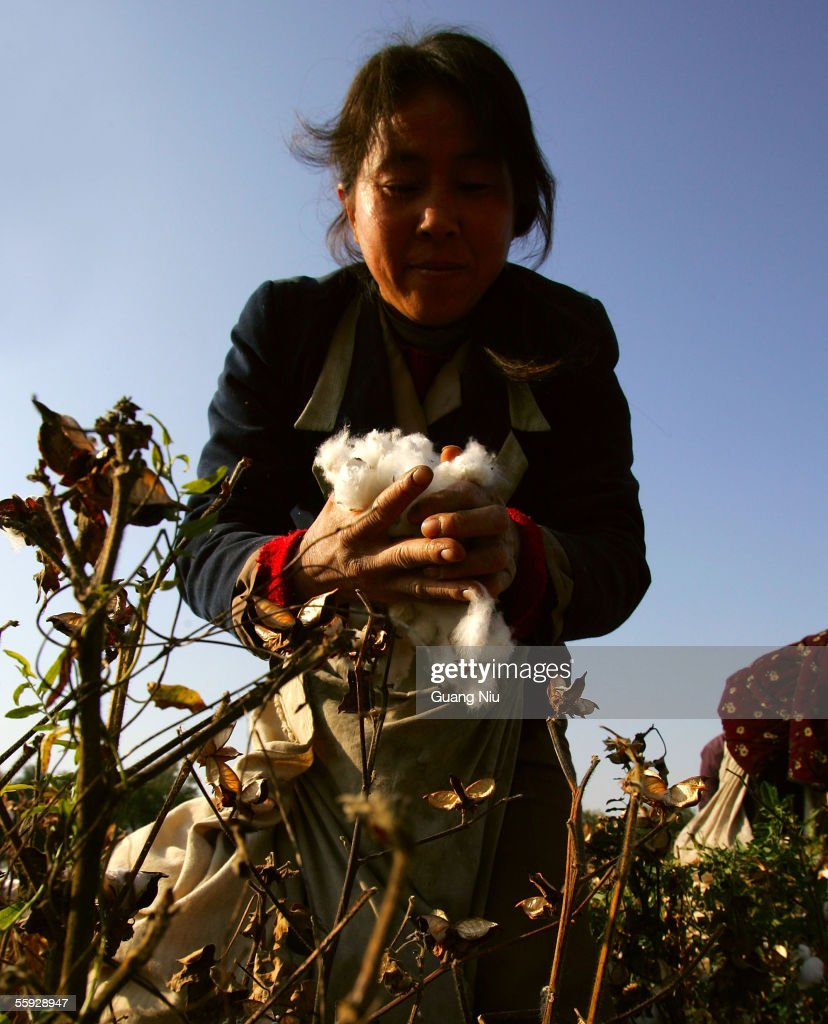 A migrant worker picks cotton in the fields October 15, 2005 in Shihezi city of Xinjiang province, China. Every year, thousands of farmers from inland provinces, including Central China's Henan, East China's Anhui, Jiangsu and Shandong provinces, travel to Xinjiang for the cotton harvest season when a large number of temporary cotton pickers are needed. Cotton workers can often earn RMB 2,500 ($320) for the whole harvest season, which covers a period of two or three months.