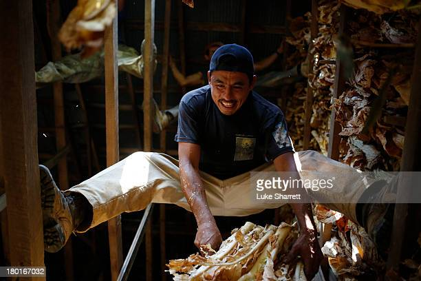 Migrant worker Rafael Gonzalez of Mexico hangs Burley tobacco grown by Tucker Farms in a tobacco barn to start the leaves' six week curing process...