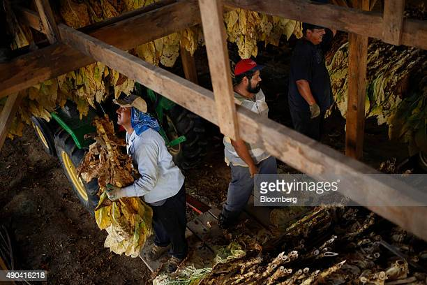 Migrant workers hang Burley tobacco grown by Langley Farms in a tobacco barn in Finchville Kentucky US on Thursday Sept 17 2015 More than twothirds...
