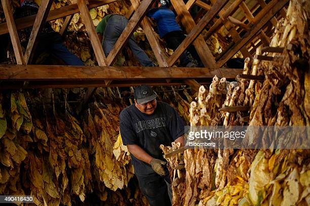 Migrant workers hang Burley tobacco grown by Langley Farms in a barn in Finchville Kentucky US on Thursday Sept 17 2015 More than twothirds of adult...