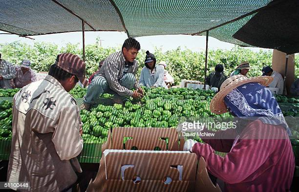 Migrant Workers Harvest And Pack Green Peppers For Del Puerto Harvesting Near Indio California May 13 1999 They Got Their Jobs Through Mark Draper...