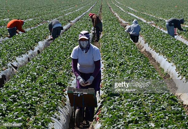Migrant workers harvest strawberries at a farm March 13 2013 near Oxnard California A mess with no easy fix American crops going unpicked it's...