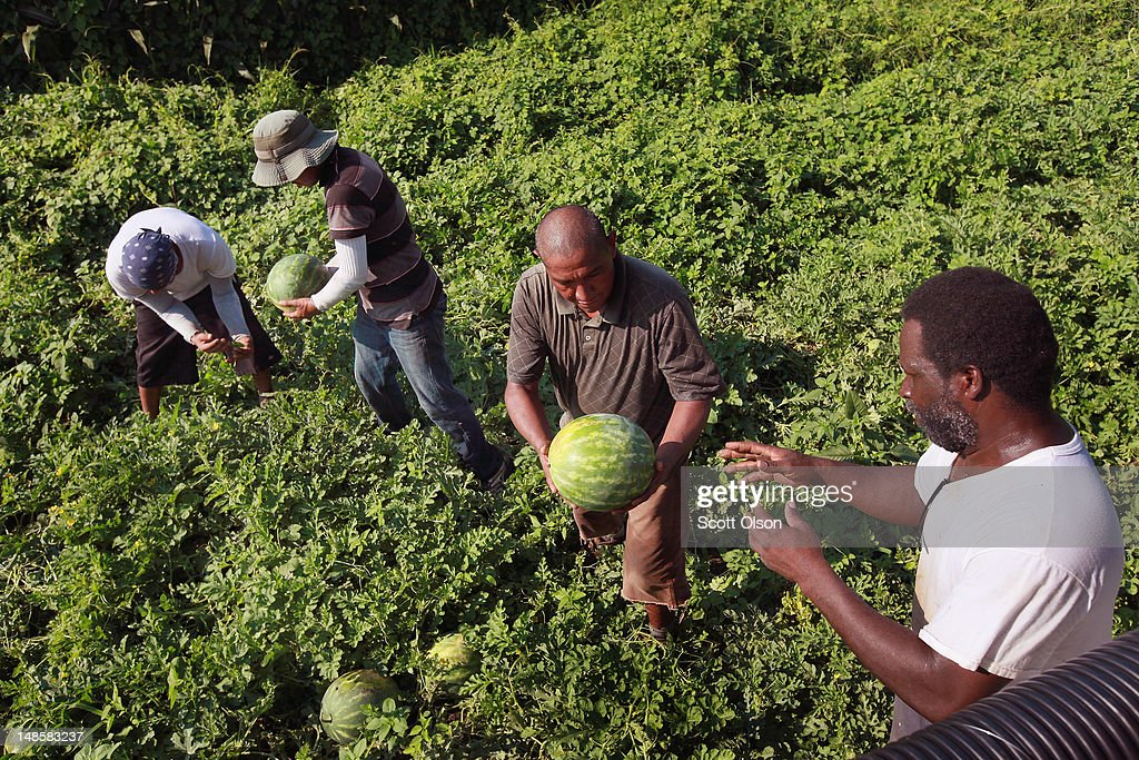 Migrant workers harvest watermelon from an irrigated farm field in a drought-stricken region of Indiana on July 18, 2012 near Vincennes, Indiana. Indiana, part of the corn and soybean belt in the middle of the nation, is experiencing one of the worst droughts in more than five decades. Indiana is one of the nation's largest producers of watermelon.
