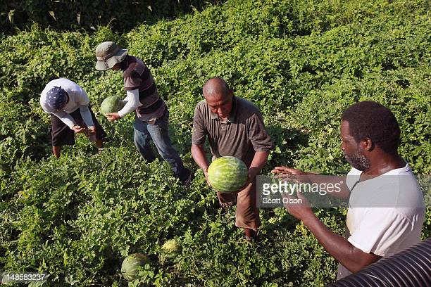 Migrant workers harvest watermelon from an irrigated farm field in a droughtstricken region of Indiana on July 18 2012 near Vincennes Indiana Indiana...
