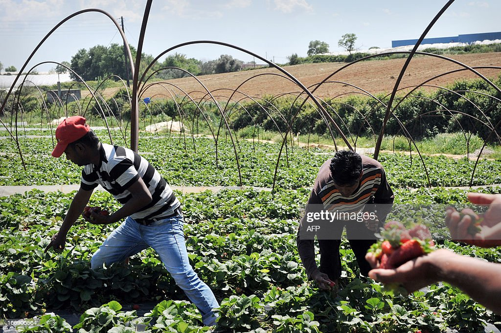 Migrant workers pick strawberries in Nea Manolada on April 18, 2013. Police in Greece have arrested two men in connection with an alleged attack by strawberry growers on unpaid migrant labourers that left 27 injured, one of them in critical condition, local authorities said on April 18. The migrants, mainly from Bangladesh, were hospitalised in the western port of Patras and other areas with gunshot wounds after allegedly being fired upon late on Wednesday by three growers in the village of Manolada, one of the main areas of strawberry production in Greece. AFP PHOTO/ GIOTA KORBAKI