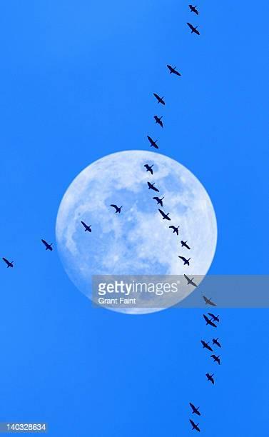 Migrating birds at moonrise.
