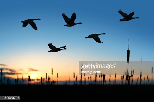 XXL migrating canada geese at sunset