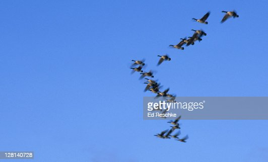 Canada Goose toronto online shop - Migrating Canada Geese Branta Canadensis In Flight In V Formation ...