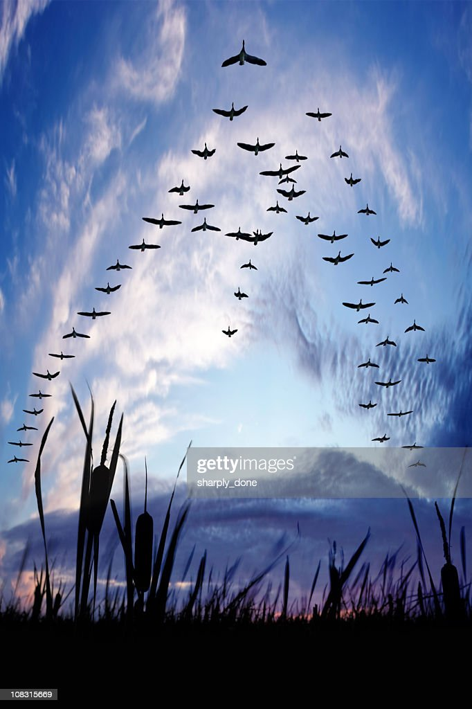 migrating canada geese : Stock Photo
