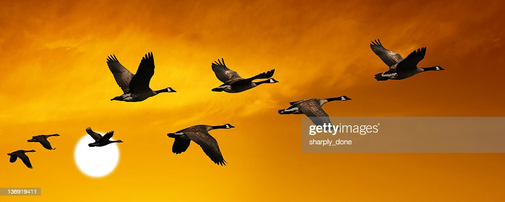 XL migrating canada geese