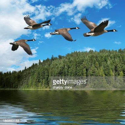XXXL migrating canada geese