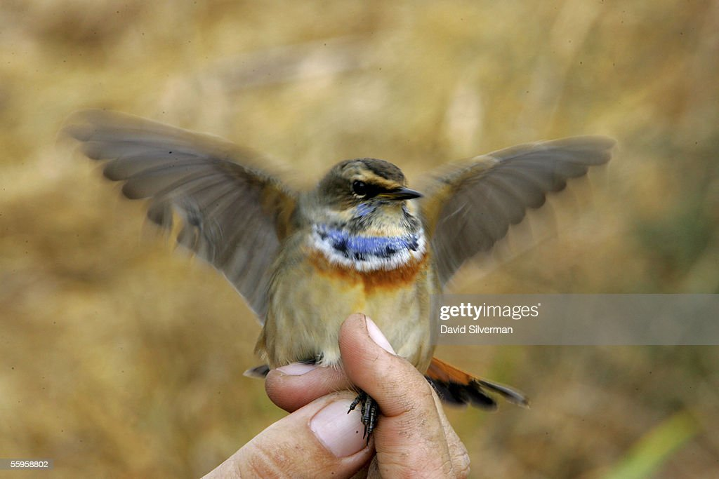 A migrating Eurasian Blue Throat tries to fly free after it was captured for ringing and measurement at a migratory birds' reserve October 19 2005 in...