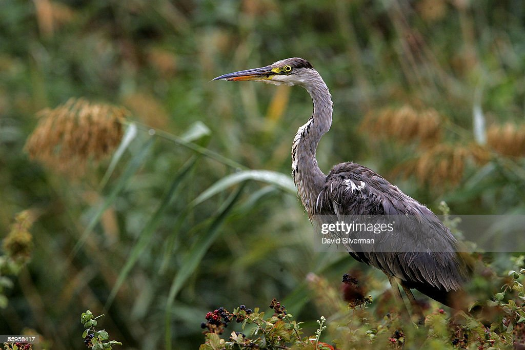 A migrating Grey Heron looks for food at a fish farm October 19 2005 in the Hula Valley in northern Israel Fears are rising in Israel the Palestinian...