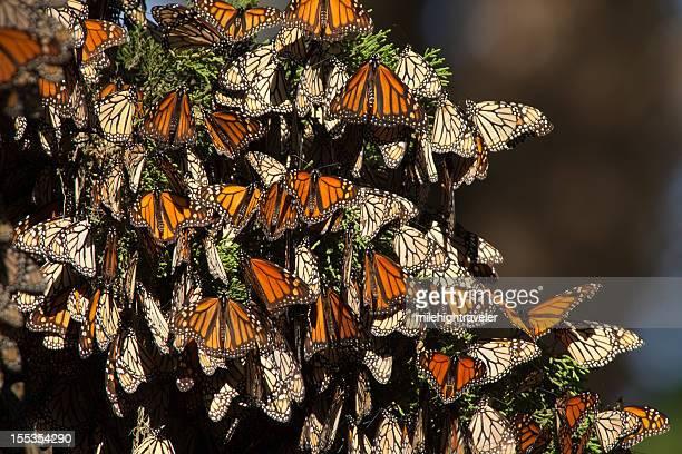 Migrating Monarch butterflies in Monterey Bay California horizontal