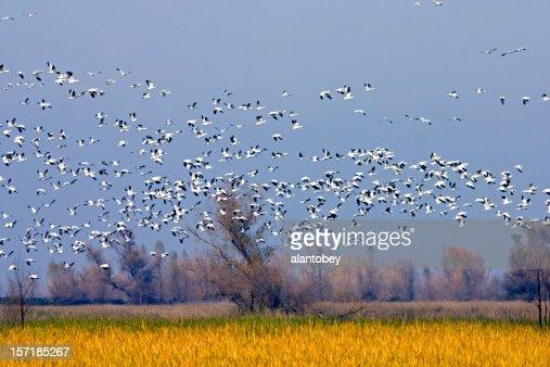 Migrating Snow Geese in Sacramento Valley National Wildlife Refu