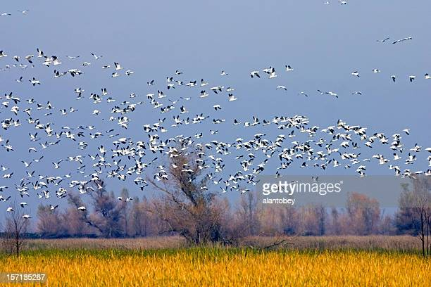 Migrating Snow Geese in Sacramento Valley National Wildlife Refu
