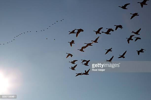 Migrating wild geese, backlighted