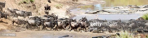 Migration, group of gnus crossing Mara River, Kenya.