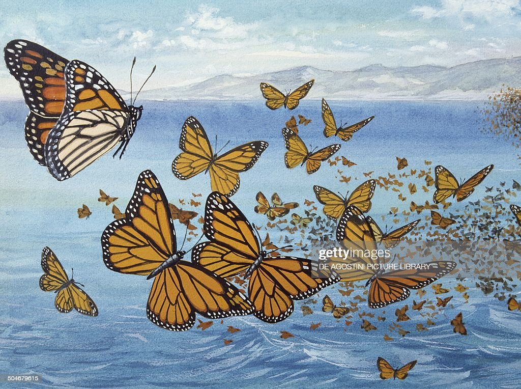 Migration of Monarch Butterflies (Danaus plexippus), Nymphalidae, drawing.