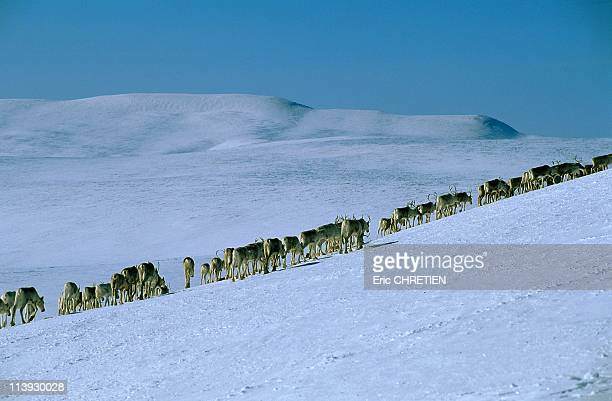 Migration Of Reindeer In Countries Of Sami Lapland In Norway In 1999Increase the herd in the heart of viida in the mountains of Makketchok
